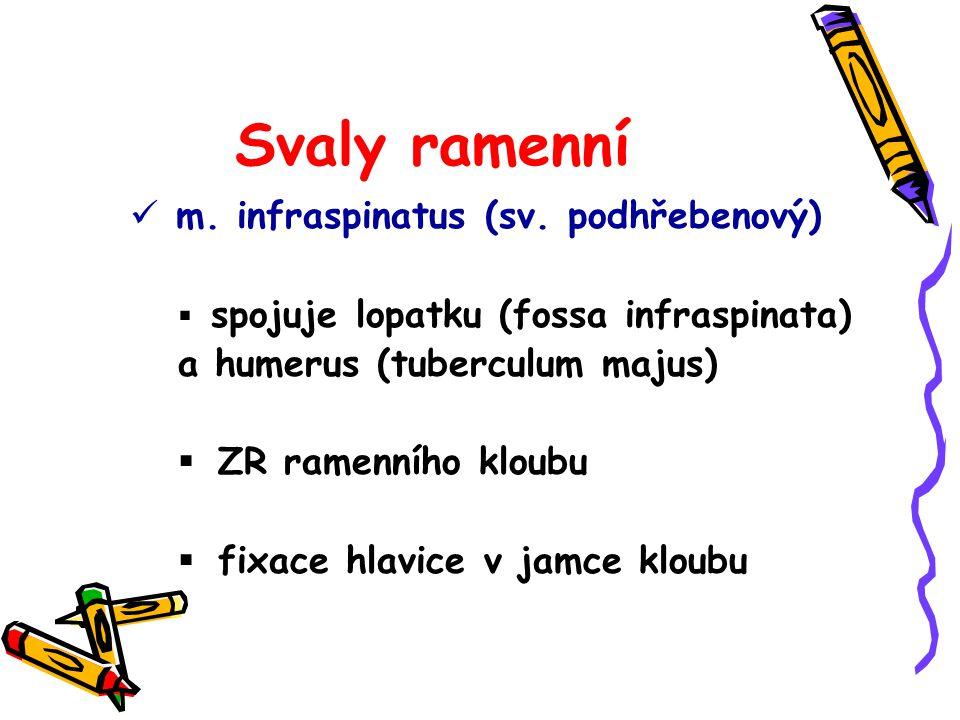 Svaly ramenní m. infraspinatus (sv. podhřebenový)