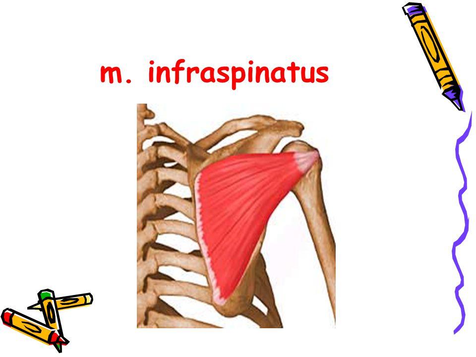 m. infraspinatus