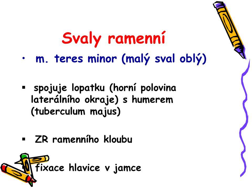 Svaly ramenní m. teres minor (malý sval oblý)