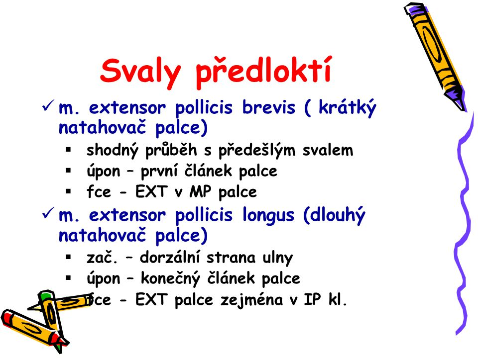 Svaly předloktí m. extensor pollicis brevis ( krátký natahovač palce)