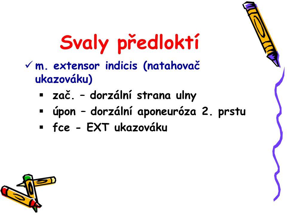 Svaly předloktí m. extensor indicis (natahovač ukazováku)
