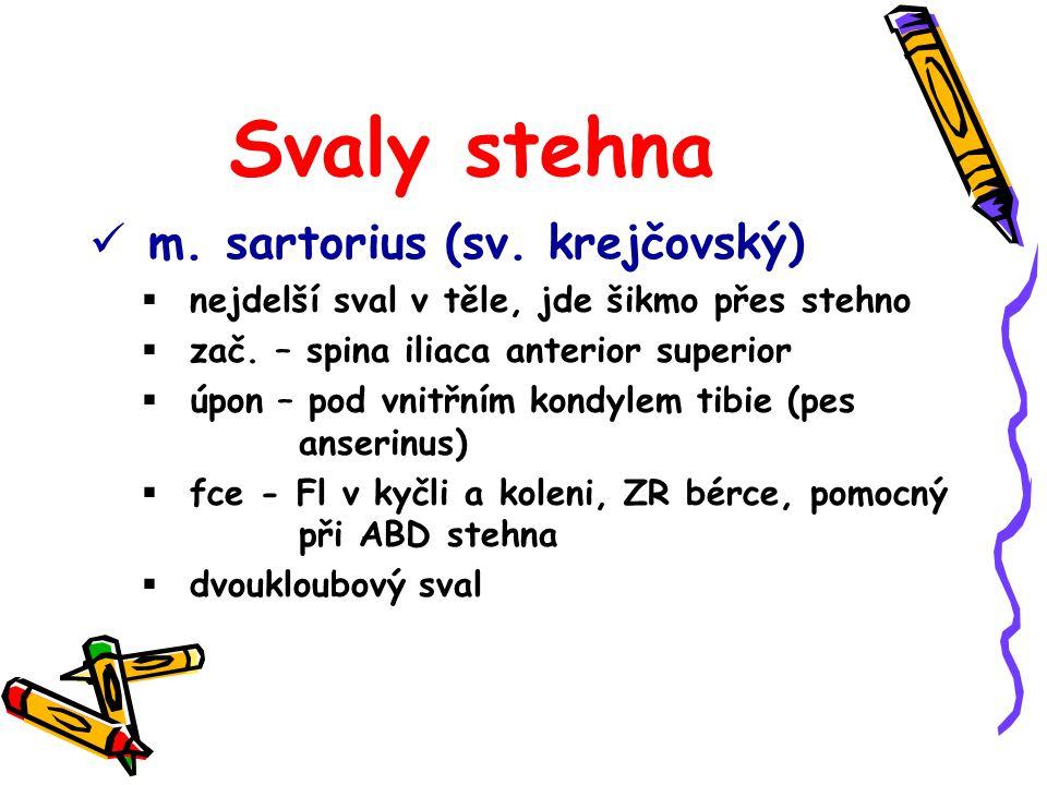 Svaly stehna m. sartorius (sv. krejčovský)