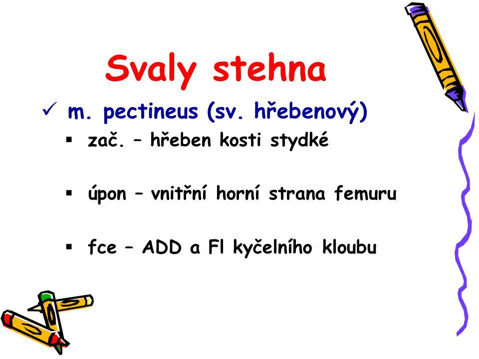 Svaly stehna m. pectineus (sv. hřebenový) zač. – hřeben kosti stydké
