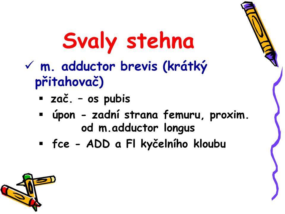 Svaly stehna m. adductor brevis (krátký přitahovač) zač. – os pubis