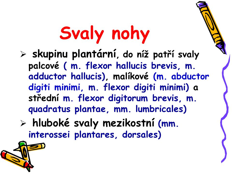 Svaly nohy