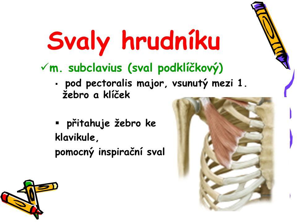Svaly hrudníku m. subclavius (sval podklíčkový) přitahuje žebro ke