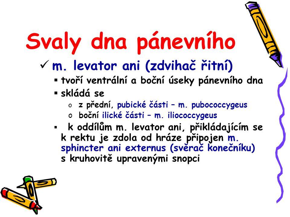Svaly dna pánevního m. levator ani (zdvihač řitní)