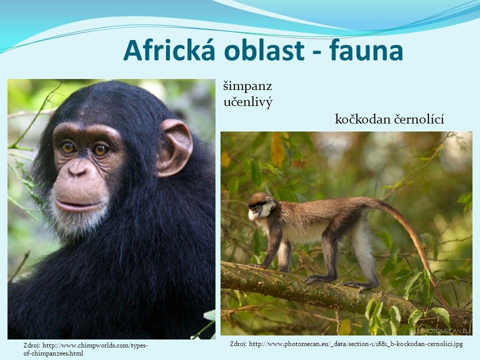 Africká oblast - fauna šimpanz učenlivý kočkodan černolící