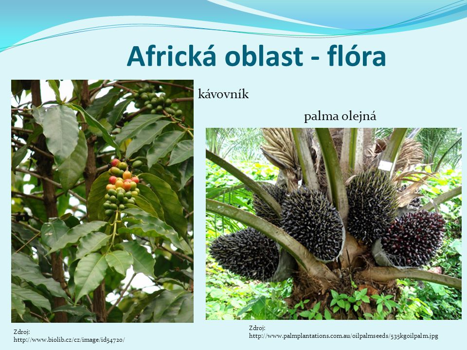 Africká oblast - flóra kávovník palma olejná