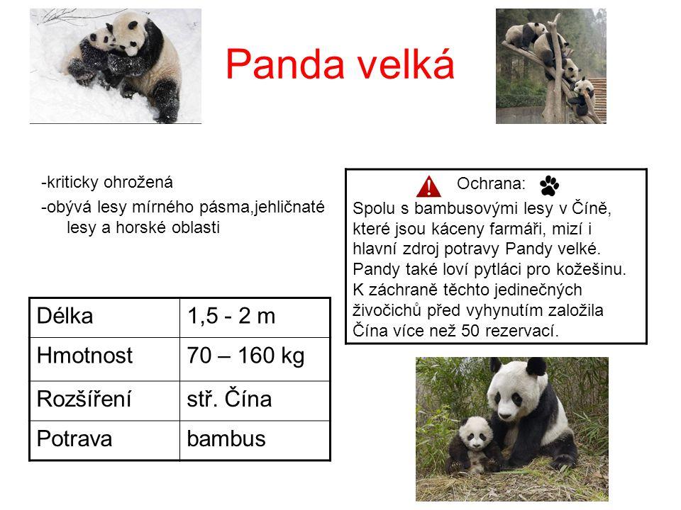 Panda velká Délka 1,5 - 2 m Hmotnost 70 – 160 kg Rozšíření stř. Čína