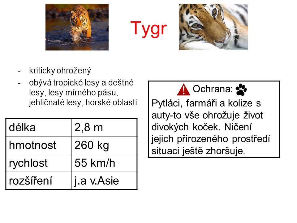 Tygr délka 2,8 m hmotnost 260 kg rychlost 55 km/h rozšíření j.a v.Asie