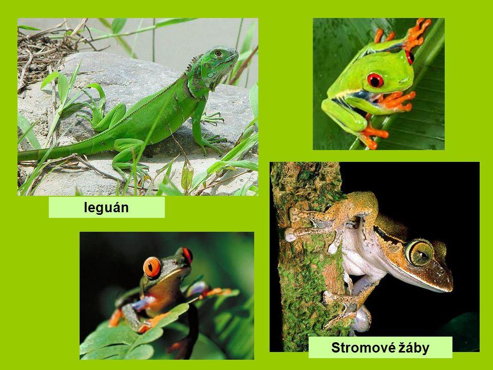 leguán Stromové žáby