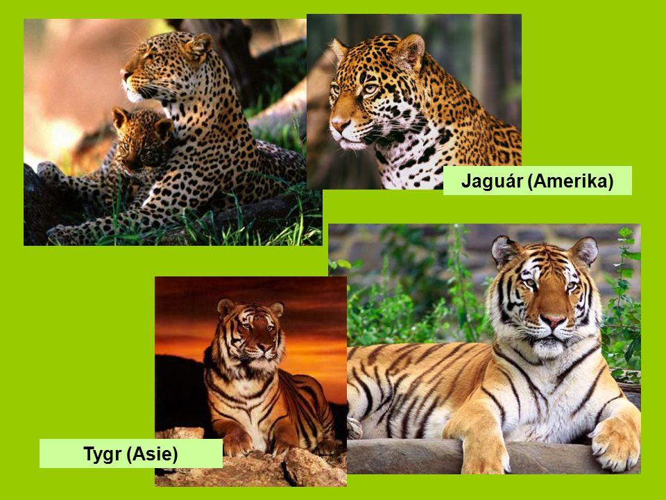Jaguár (Amerika) Tygr (Asie)