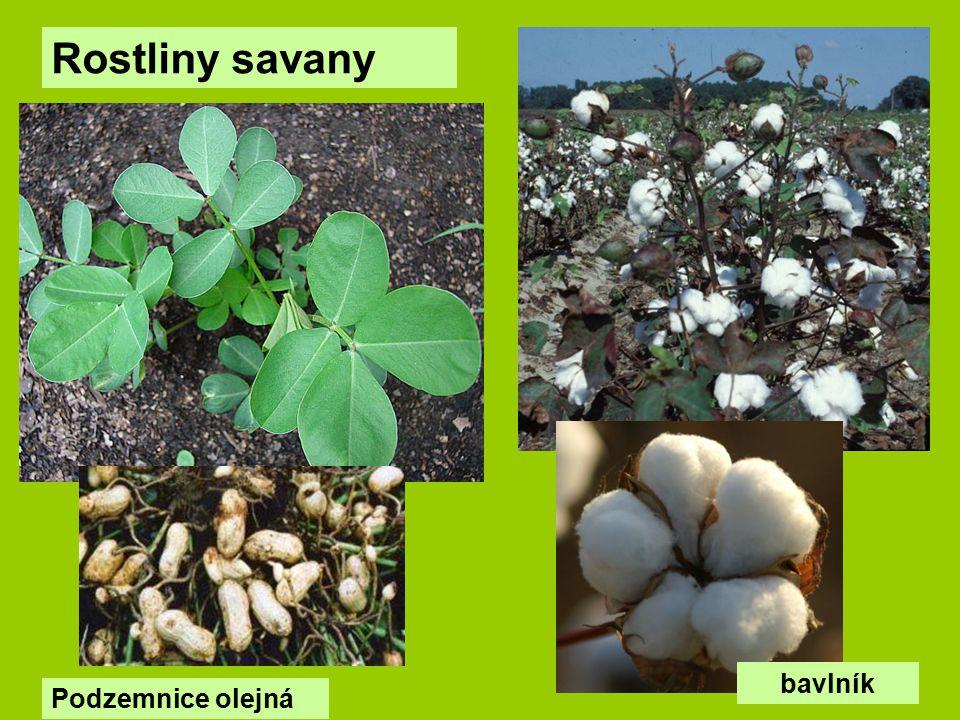 Rostliny savany bavlník Podzemnice olejná