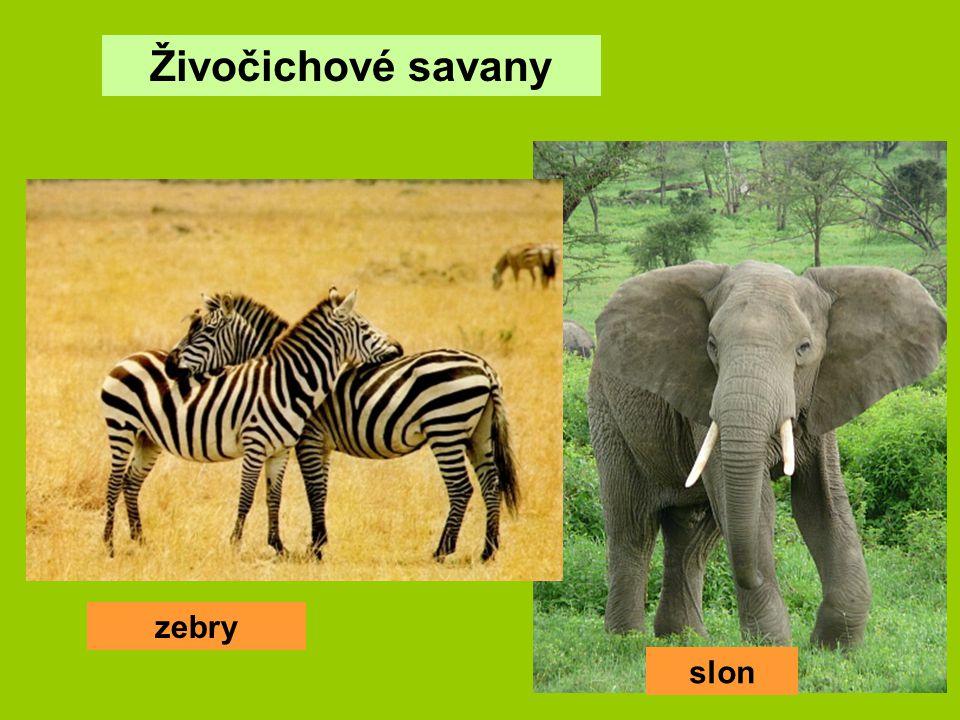 Živočichové savany zebry slon