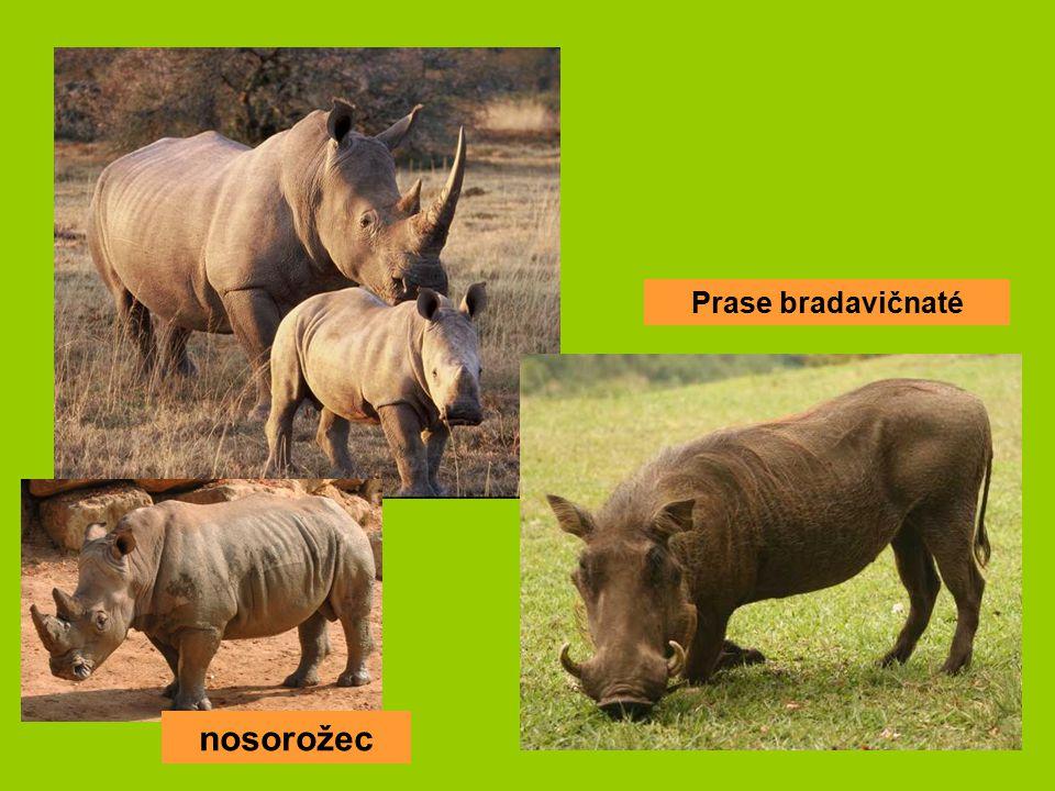 Prase bradavičnaté nosorožec