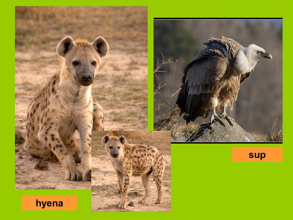 sup hyena