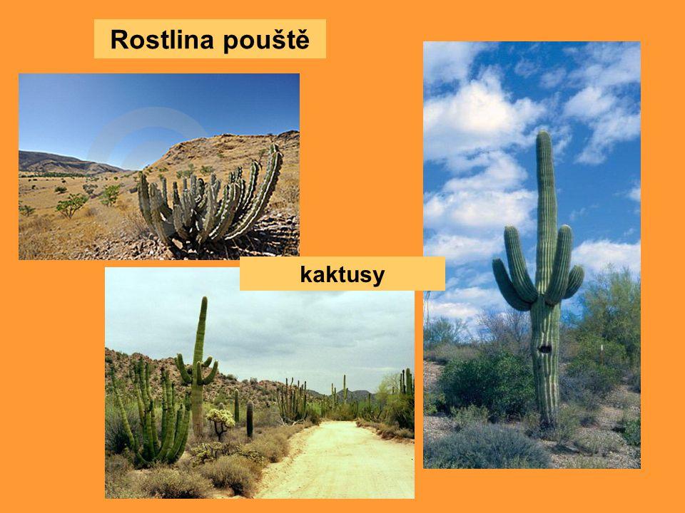 Rostlina pouště kaktusy