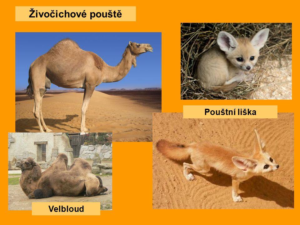 Živočichové pouště Pouštní liška Velbloud