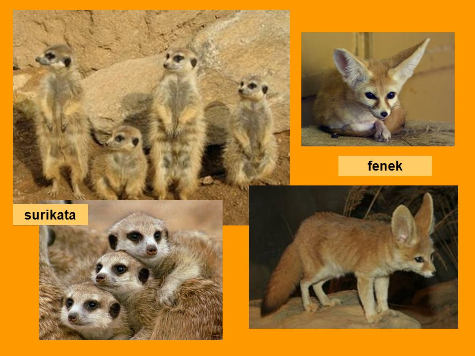 fenek surikata