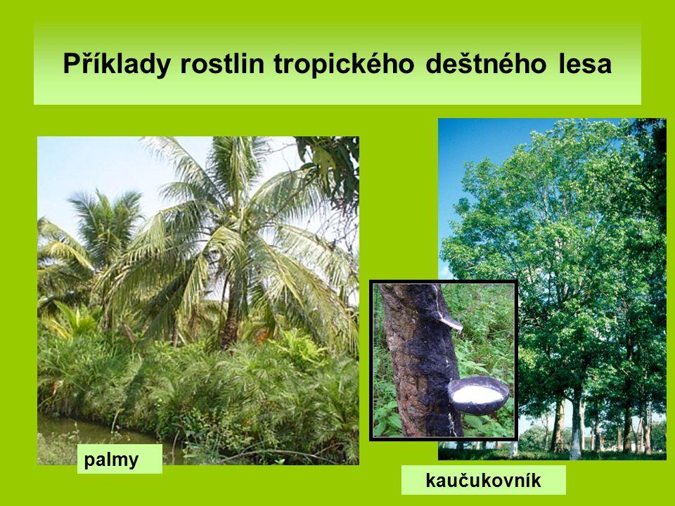 Příklady rostlin tropického deštného lesa