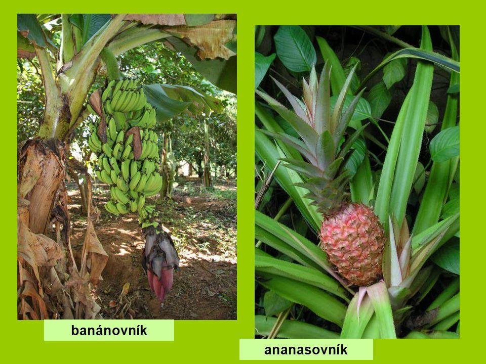 banánovník ananasovník