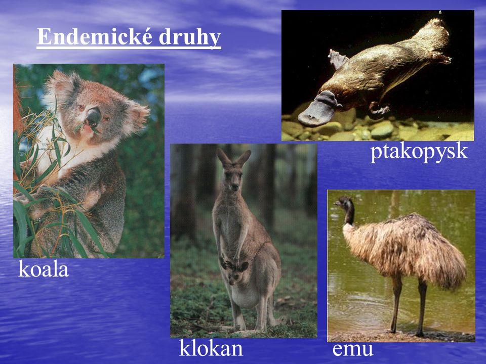 Endemické druhy ptakopysk koala klokan emu