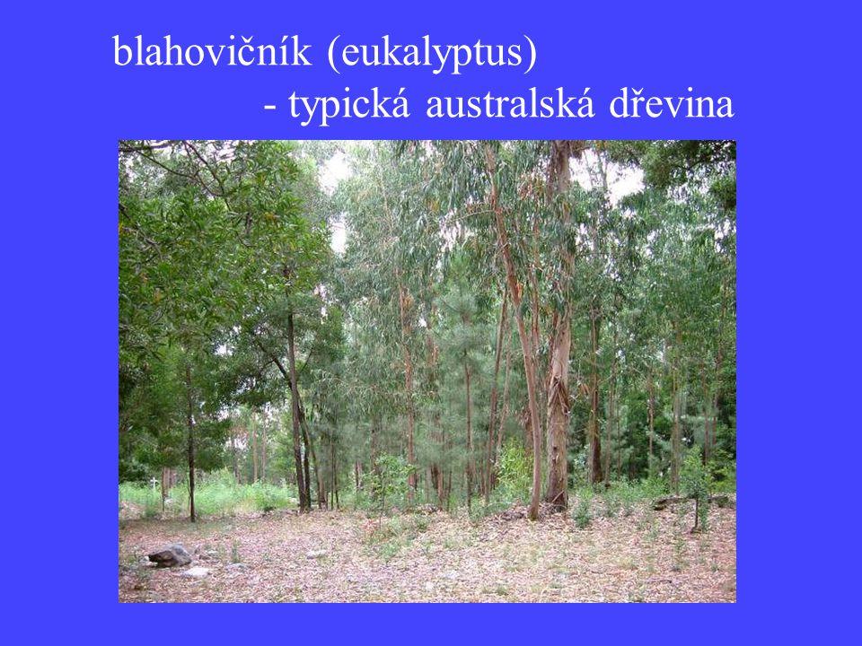 blahovičník (eukalyptus)