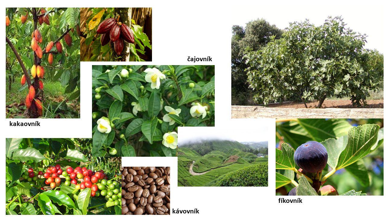 čajovník kakaovník fíkovník kávovník