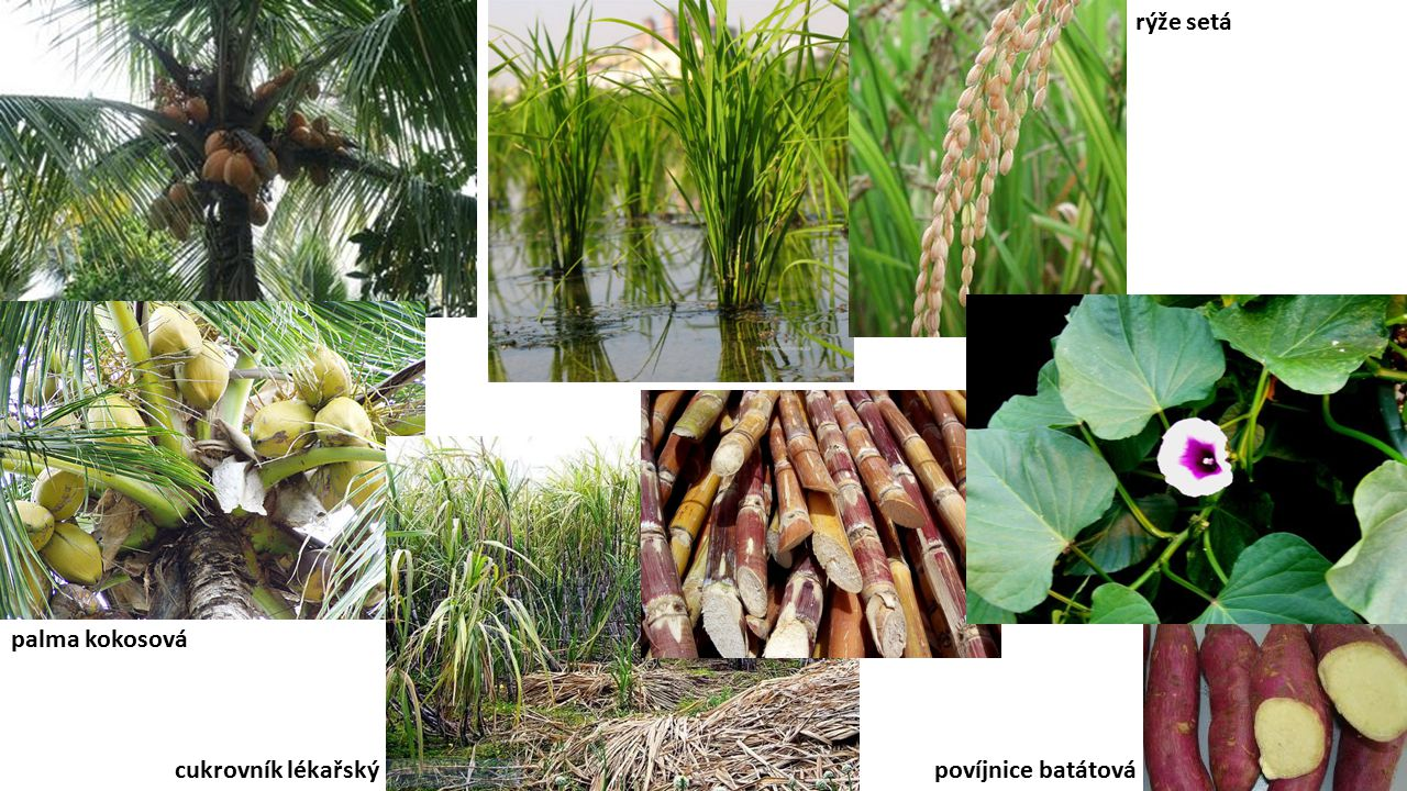 rýže setá palma kokosová cukrovník lékařský povíjnice batátová
