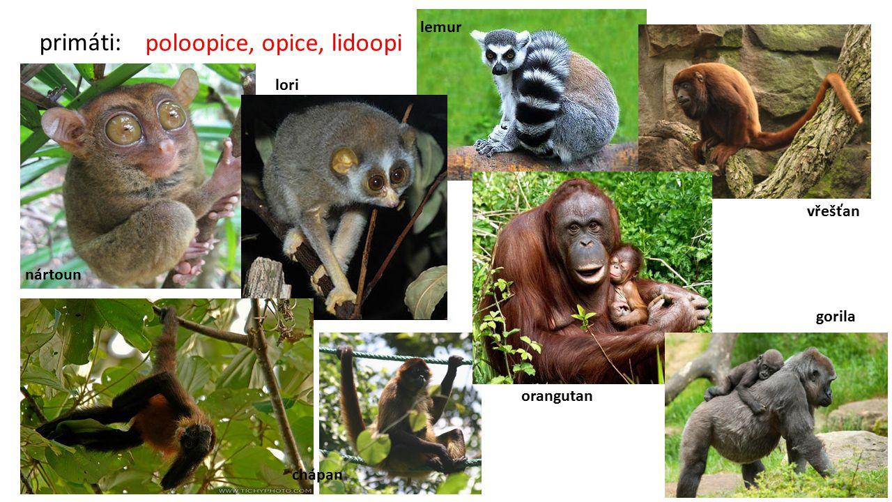 poloopice, opice, lidoopi