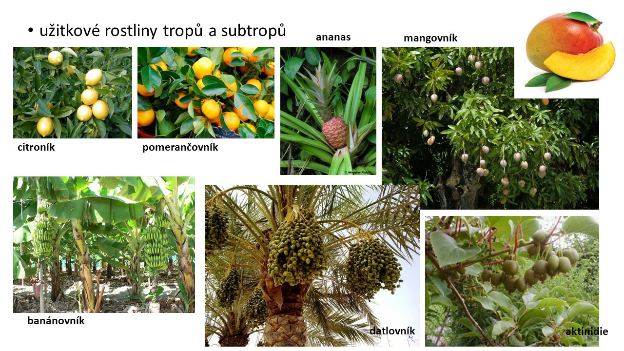užitkové rostliny tropů a subtropů
