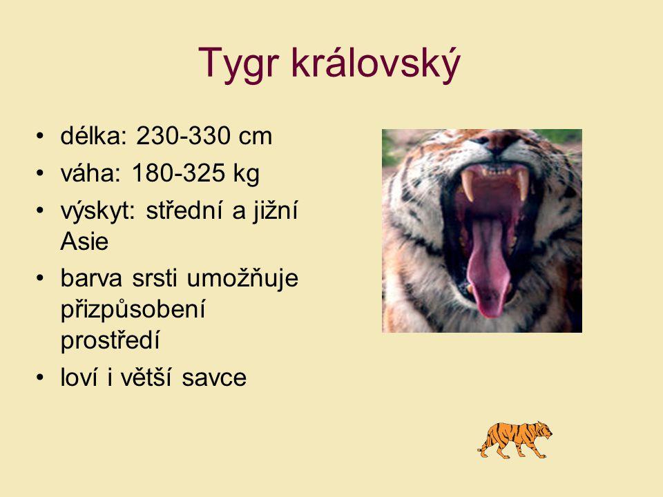Tygr královský délka: 230-330 cm váha: 180-325 kg