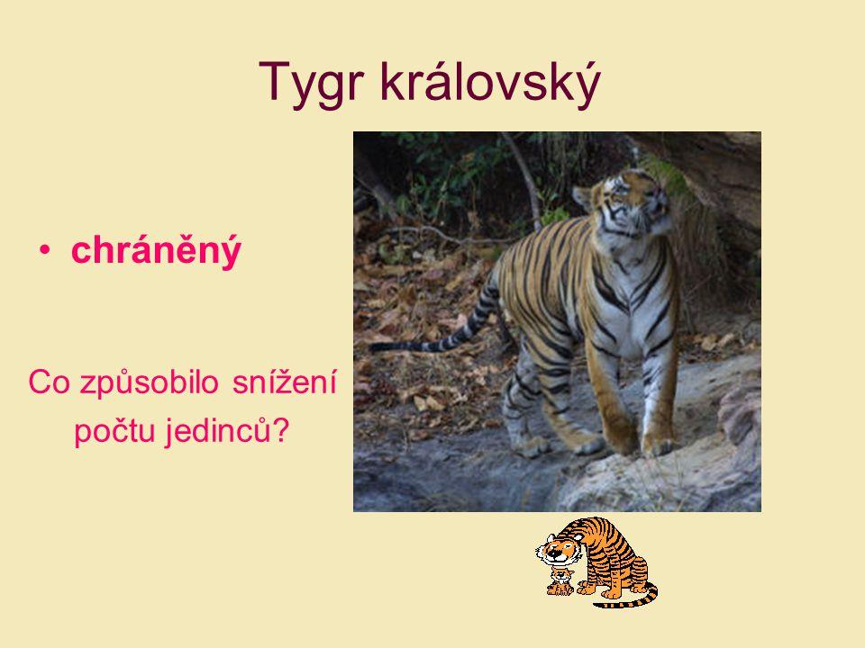 Tygr královský chráněný Co způsobilo snížení počtu jedinců