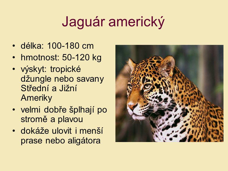 Jaguár americký délka: 100-180 cm hmotnost: 50-120 kg