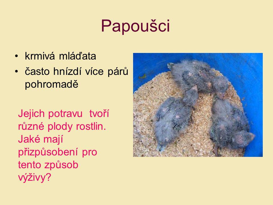 Papoušci krmivá mláďata často hnízdí více párů pohromadě