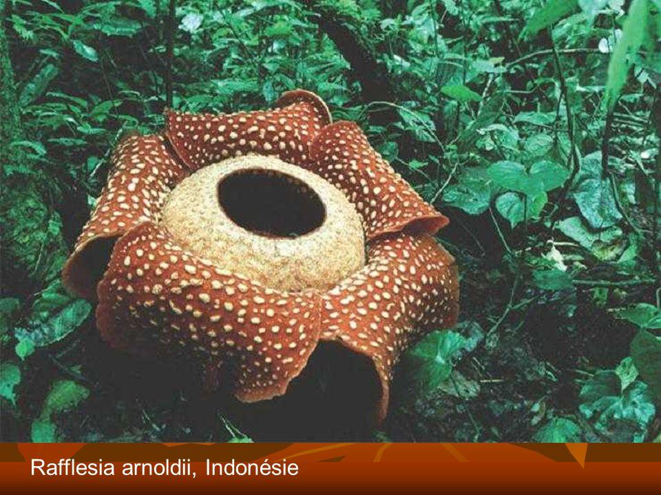 Rafflesia arnoldii, Indonésie