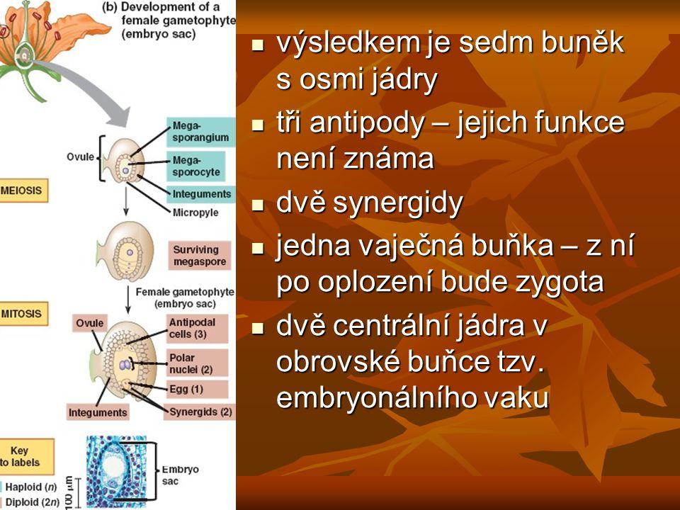 výsledkem je sedm buněk s osmi jádry
