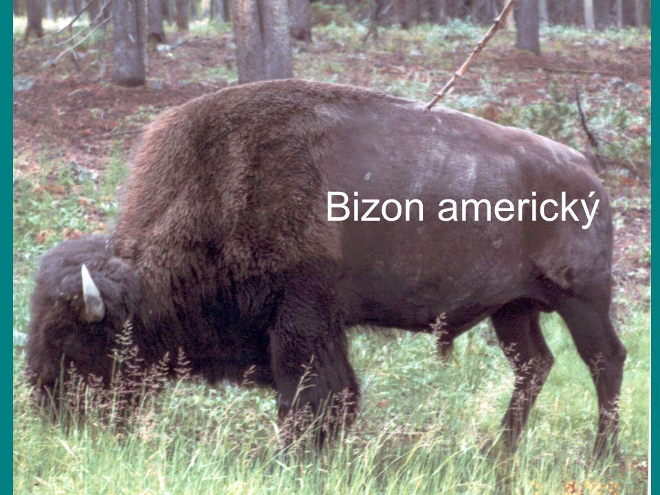 Bizon americký