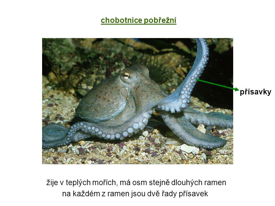 žije v teplých mořích, má osm stejně dlouhých ramen