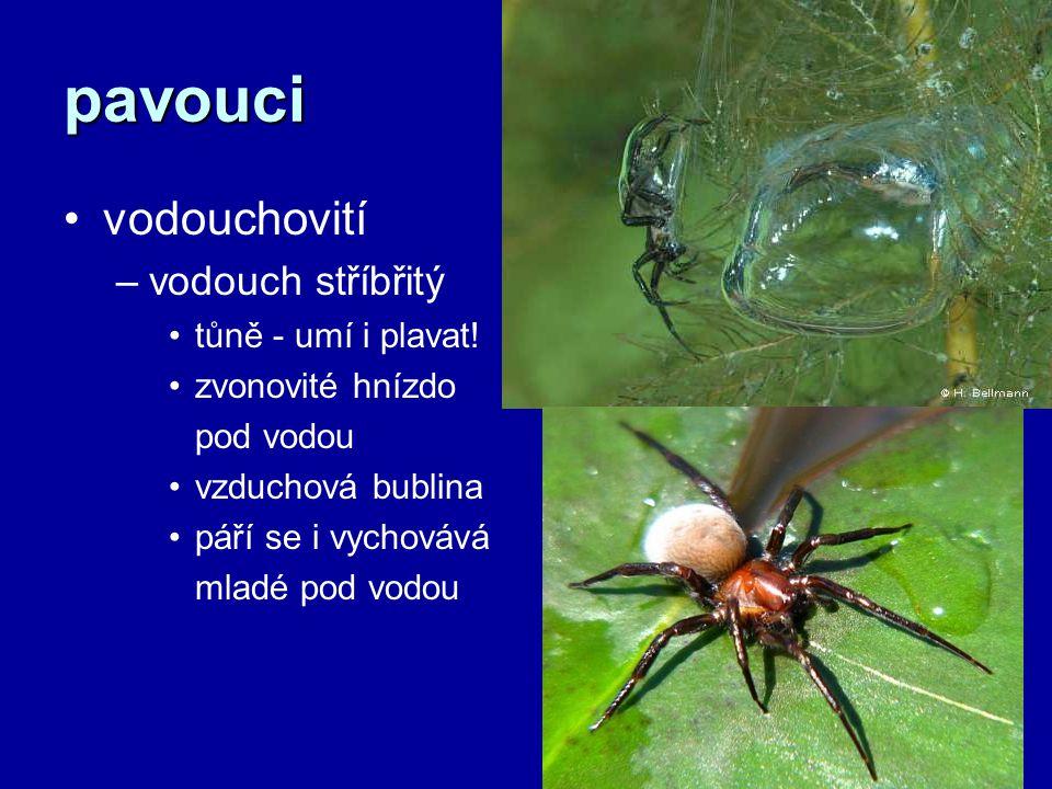pavouci vodouchovití vodouch stříbřitý tůně - umí i plavat!