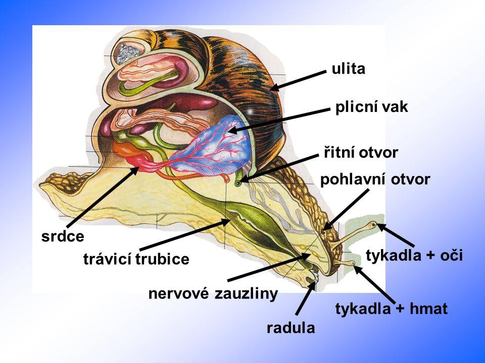 ulita plicní vak. řitní otvor. pohlavní otvor. srdce. tykadla + oči. trávicí trubice. nervové zauzliny.