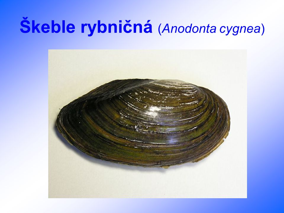 Škeble rybničná (Anodonta cygnea)