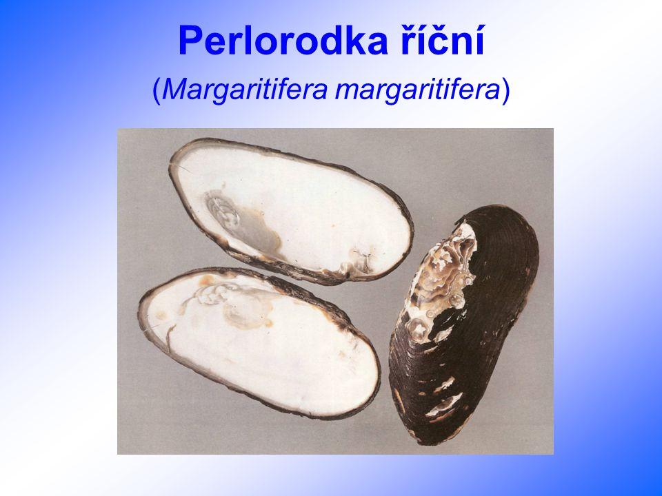 Perlorodka říční (Margaritifera margaritifera)
