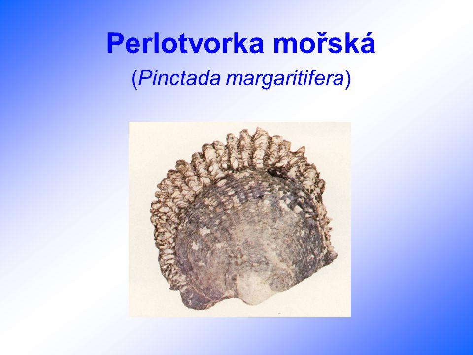 Perlotvorka mořská (Pinctada margaritifera)