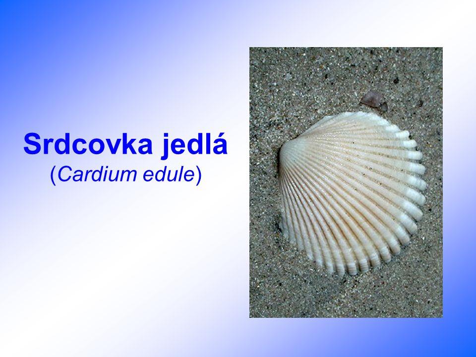 Srdcovka jedlá (Cardium edule)