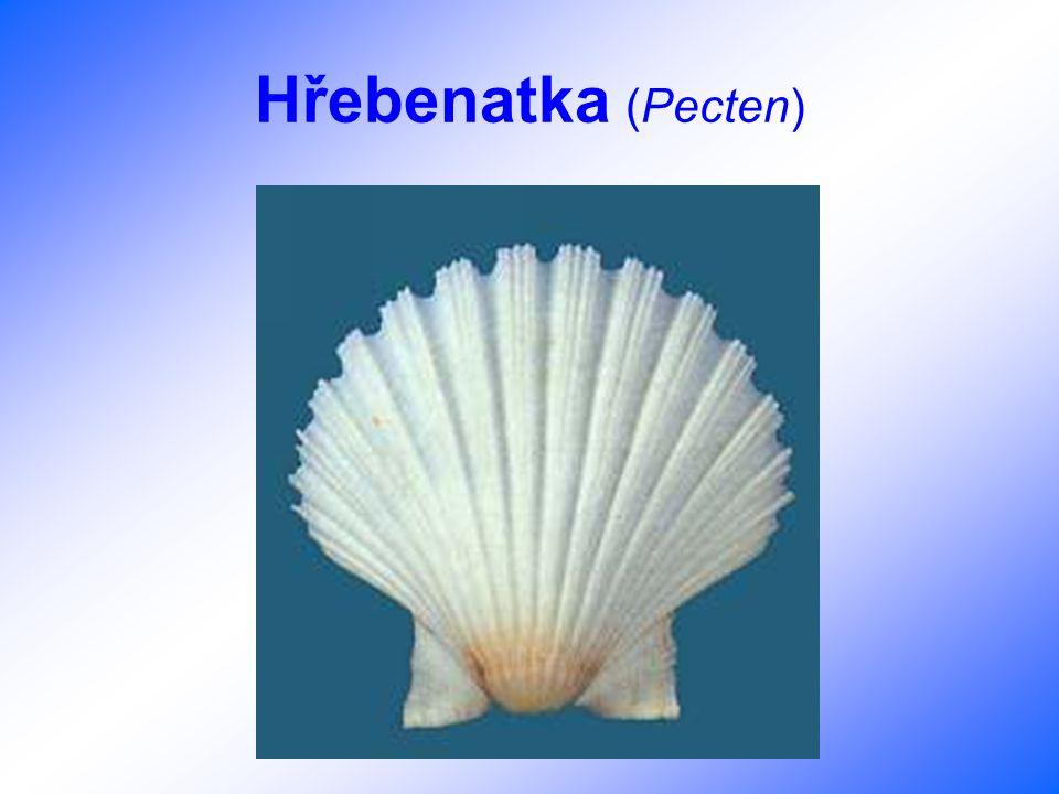 Hřebenatka (Pecten)