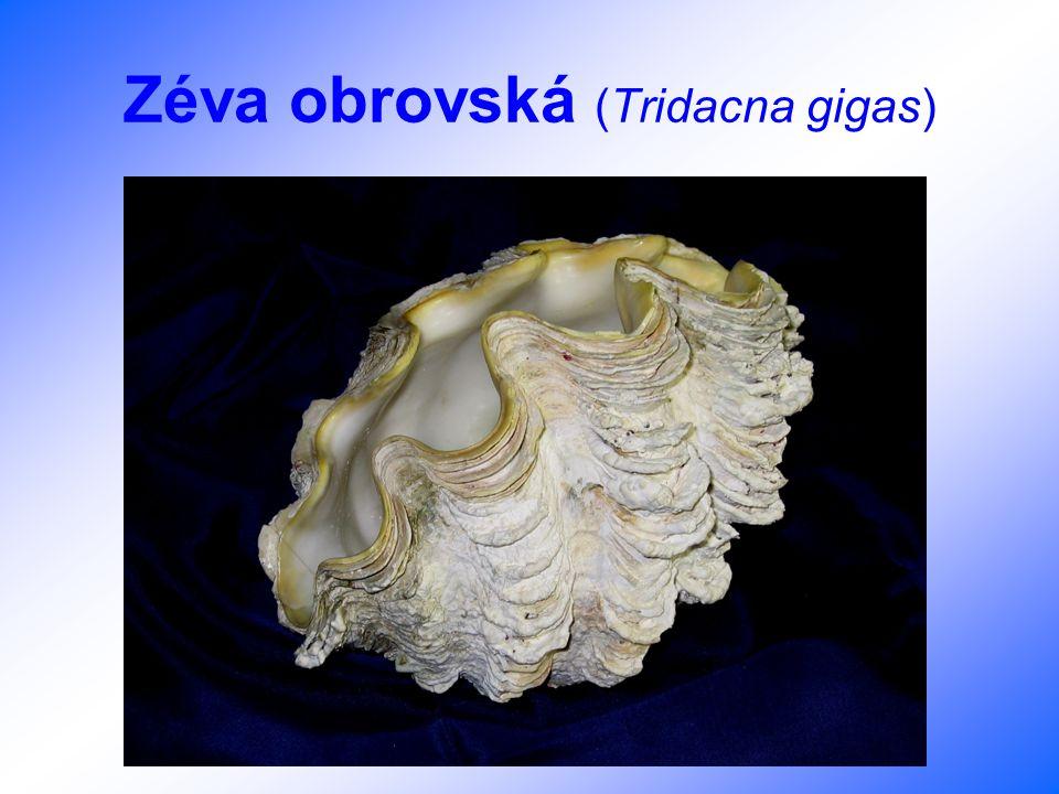 Zéva obrovská (Tridacna gigas)