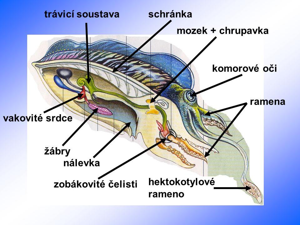 trávicí soustava schránka. mozek + chrupavka. komorové oči. ramena. vakovité srdce. žábry. nálevka.