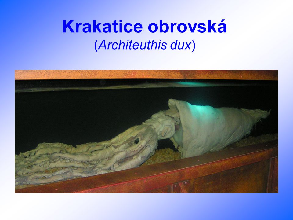 Krakatice obrovská (Architeuthis dux)